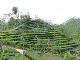 Kebun teh nglinggo