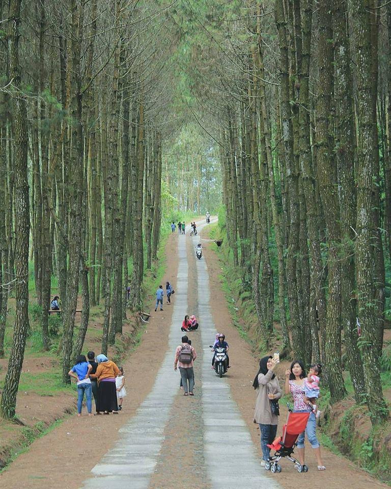 Hutan Pinus Kragilan Magelang - Kotajogja.com