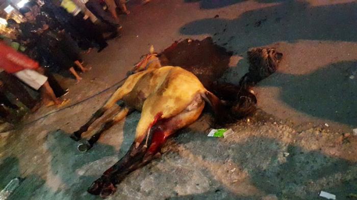 Kondisi Kuda Dalam Kondisi Terkapar (Dok. Pribadi)